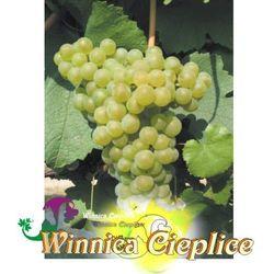 Sadzonka winorośli Chardonnay winnica kpl rabat 10%