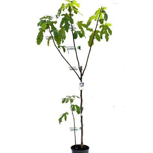 Pozostałe rośliny i hodowla, Figa pospolita drzewo