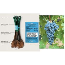 Sadzonka winorośli Cabarnet Savignon rabat 8%