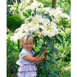 Gigantyczna lilia drzewiasta 'Pretty Woman' 2 szt