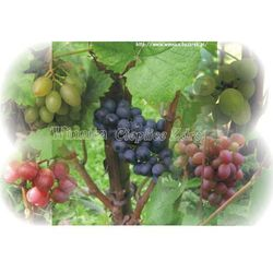 Kadarka sadzonka winorośli